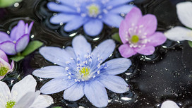 Hepaticas floating in a water bowl in Ashwood Nurseries' display at Chelsea