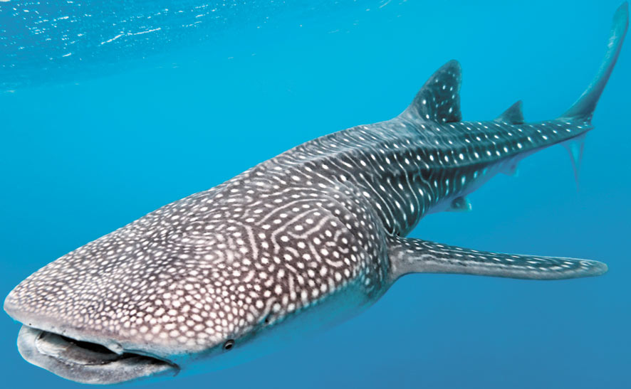 Whale Shark VULNERABLE: The world's largest living fish is harmless, docile, slow and valuable. Its massive fins have fetched more than $10,000 in Asia, and it is still hunted in some regions even though it is classed as threatened and protected in many countries.