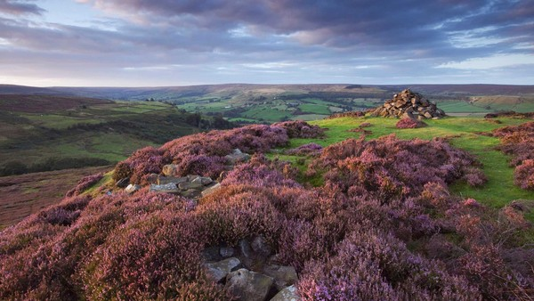 Heather above Rosedale in the North York Moors National Park in the evening, North Yorkshire, England, United Kingdom