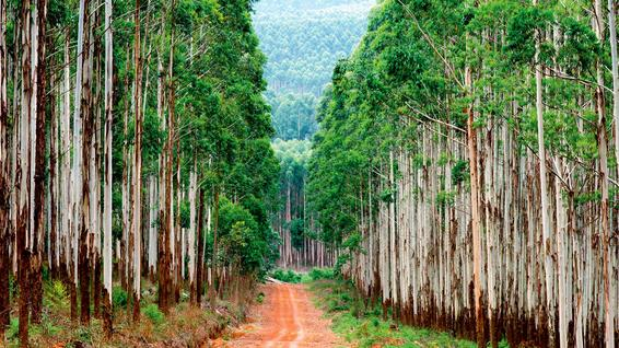 A forest road through a eucalyptus plantation in South Africa