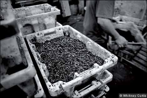 A crate of worms in the Silver Bait factory
